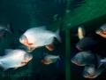 zoetwater piranha's, net gearriveerd!