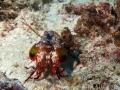 maledivenmantashrimp