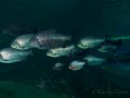 Zwarte pacu's | familie van de piranha