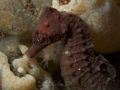 zeepaardje4