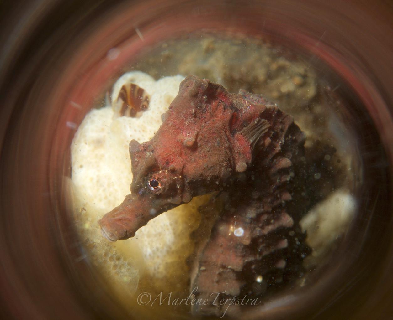 zeepaardje2