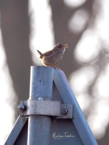 Zingende vogel